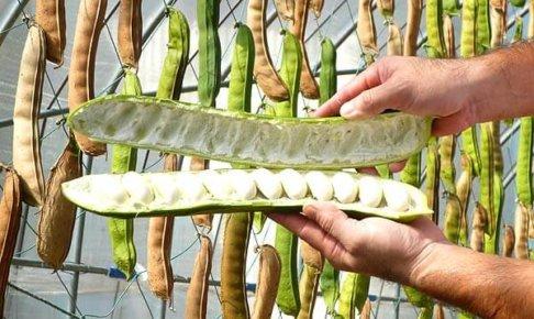 なた豆の大きさ。デカい