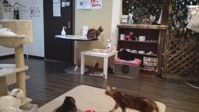 マンチカン鶴橋店内写真。猫ちゃんだらけ