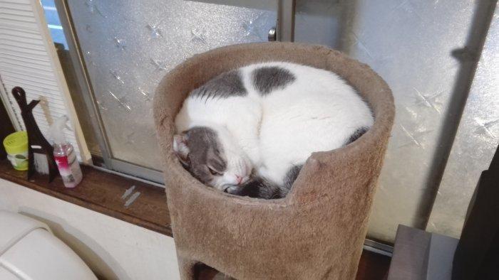 半目で寝る猫。丸くなって。