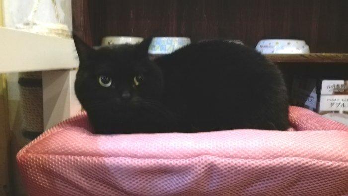マンチカン鶴橋店内写真。黒猫もかわいいよね
