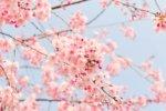空と満開の美しい桜