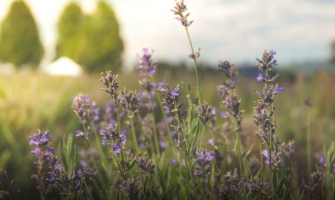 ムラサキの花が優しい風にゆらぐ