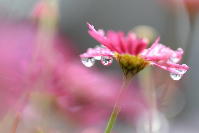 ピンクの花。すこし濡れているが綺麗に咲いている