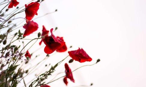 赤い花が凛と咲いている