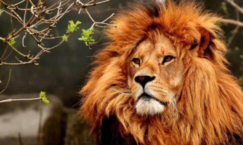 気高いライオン