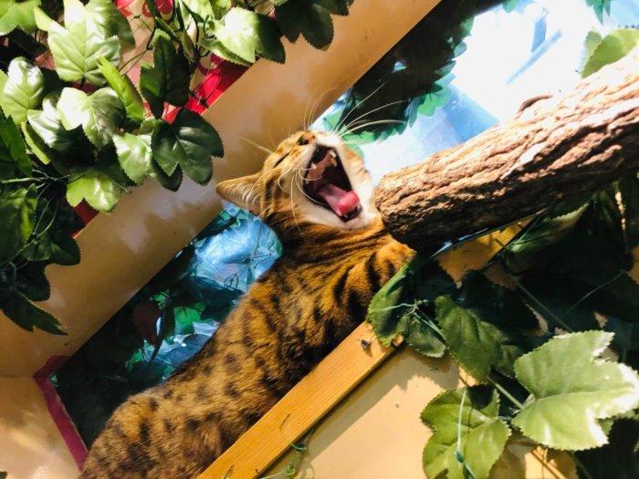 猫カフェにて。あくびする猫